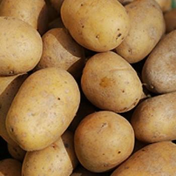 Kartoffeln mehligkochend - gew. - Sorte: Gunda